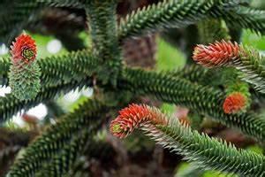 Immergrüne Pflanzen Winterhart Kübel : schmucktanne chilenische araukarie pflege und berwintern ~ Lizthompson.info Haus und Dekorationen