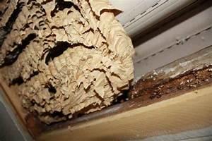 Hornissennest Im Haus : hornissen im dach im rolladen oder in dmmschichten ~ Lizthompson.info Haus und Dekorationen