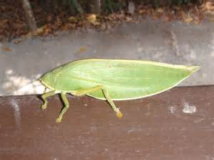 Green Grasshopper Flying