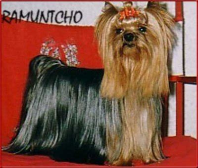 fancy diamond yorkshire terrier ahnentafel  wurf