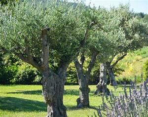 Comment Reconnaitre Un Hibiscus D Intérieur Ou D Extérieur : olivier entretien taille et maladies des oliviers ~ Dallasstarsshop.com Idées de Décoration