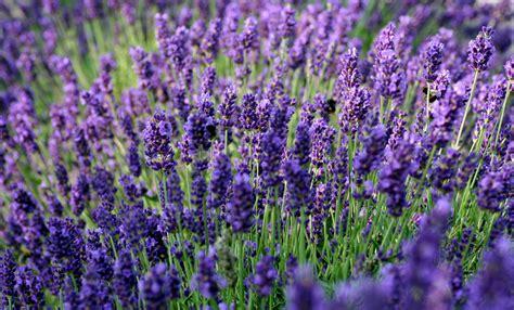 Lavendel Viel Wasser by Lila Durstl 246 Scher F 252 R Hei 223 E Sommer Lavendelwasser Und