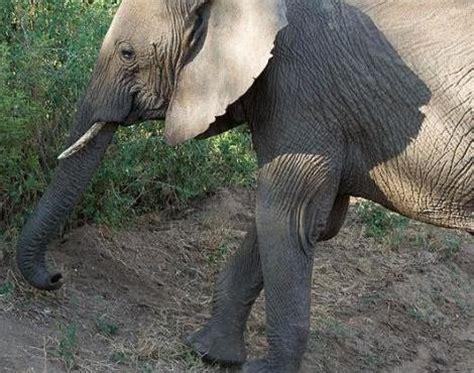 picture    african bush elephant loxodonta