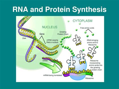 Ppt  Rna And Protein Synthesis Powerpoint Presentation. University Of Arizona Degree Programs. Indian Overseas Bank Online Rugby Shirt Shop. Best Business Card Design Npt Pipe Size Chart. Seamless Gutters St Louis Oil Options Trading. Medical Billing And Coding Business. Oregon Engineering Schools Ipo Stocks To Buy. Universities In Norfolk Va Kansas City Dental. Google Adsense Video Ads Sewer Drain Cleaners