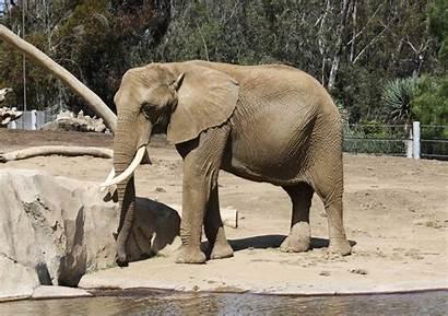 Elephant African Bush Zoo
