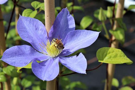 Clematis Große Blüten by Clematis Waldrebe Fujimusume Lubera At