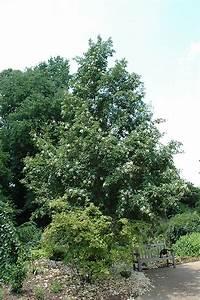 Japanese Stewartia (Stewartia pseudocamellia) in Wilmette