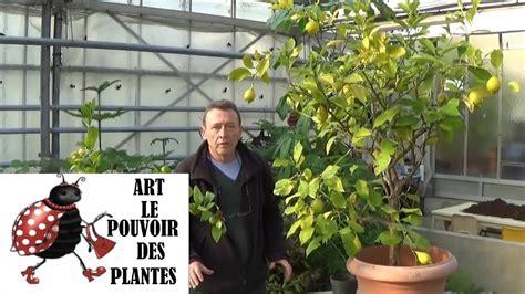 tailler un citronnier en pot 28 images citronnier en pot entretien taille rempotage la