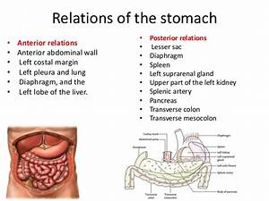 Anatomy Of The Stomach