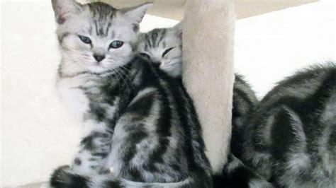 bkh kater kitten katzenbabys  black silver tabby classic