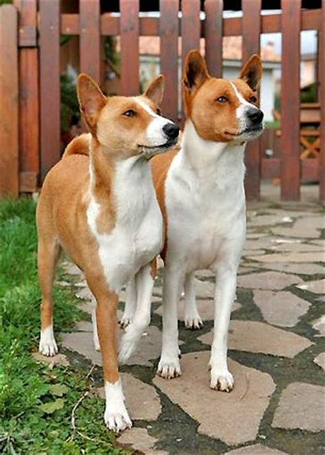 Basenji Shedding A Lot by Non Shedding Dogs