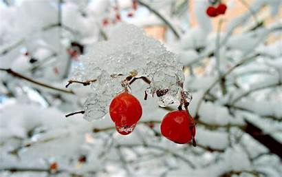 Winter Rose Berries Snow Bushes Nature Hips