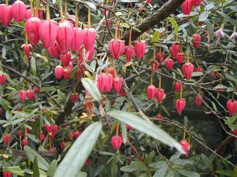 crinodendron hookerianum from burncoose nurseries