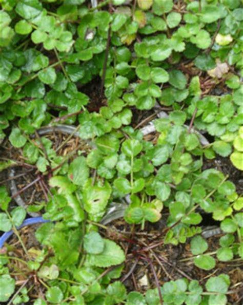 edukasi tentang herbal manfaat purwoceng