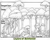 Rainforest Layers Coloring Tropical Facts Canopy Plants Animals Sketch Trees Template Habitat Biome Designlooter Selvas Drawings Activities Bosque Wikispaces Clip sketch template