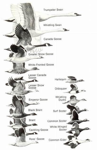 Waterfowl Bird Identification Duck Hunting Birds Chart