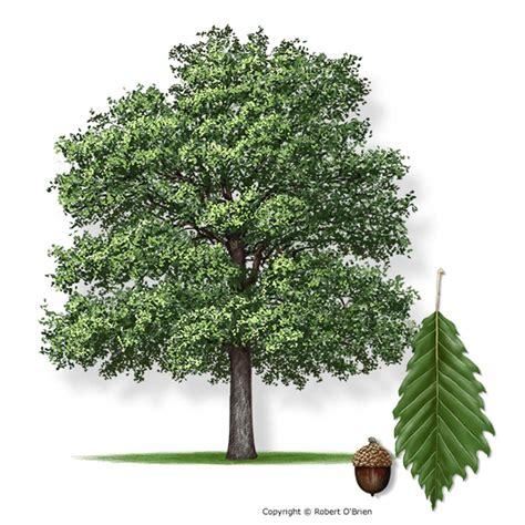 white nursery chinkapin oak