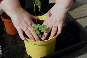 Semis De Persil : persil semis tout ~ Dallasstarsshop.com Idées de Décoration