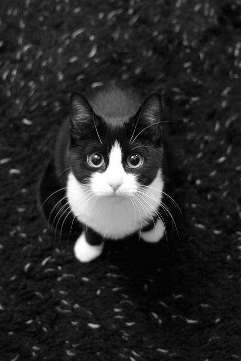 black and white cats ginny the black and white kitten ginny taken in b w due t flickr