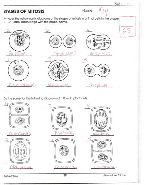 mitosis worksheet and diagram identification answers the