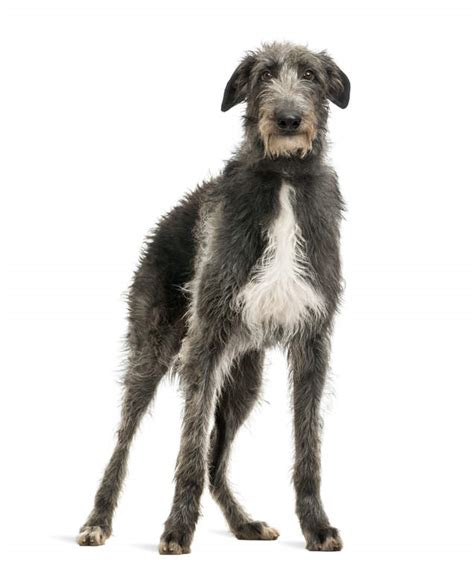 scottish deerhound dogs breed information omlet