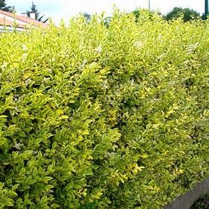 Arbuste Brise Vue : les 55 meilleures images du tableau plantes de haie sur pinterest ~ Preciouscoupons.com Idées de Décoration