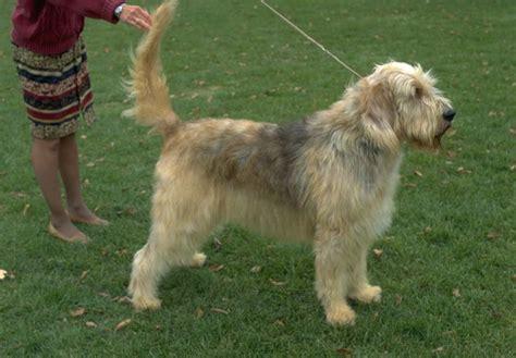 Otterhound Puppies For Sale Akc Puppyfinder