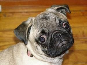 Googly Eyes You Talking To Me My Pugs Pinterest