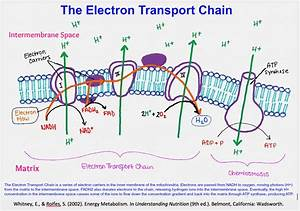 Fundamentals Of Human Nutrition  Electron Transport Chain