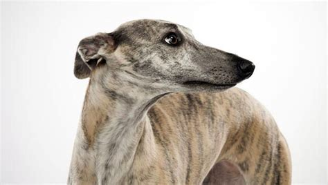 whippet dog breed selector animal planet