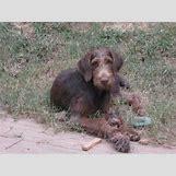 Brown Doberman Dog | 500 x 375 jpeg 57kB