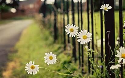Daisy Background Flowers Fence Chamomile Street Desktop