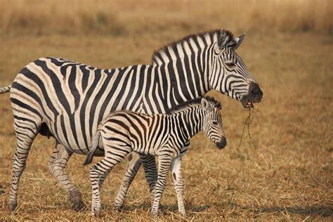 zebra wild  HD Desktop Wallpapers  4k HD