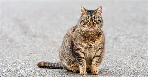 cat  pregnant   tale signs carecom