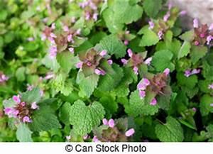Pflanze Lila Blätter : lila nessel blume sch ne garden nahaufnahme blume stockfotografie suche bilder und ~ Eleganceandgraceweddings.com Haus und Dekorationen