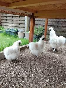 Hühnerhaltung Im Wohngebiet : h hnerhaltung das sch nste hobby der welt ~ Eleganceandgraceweddings.com Haus und Dekorationen