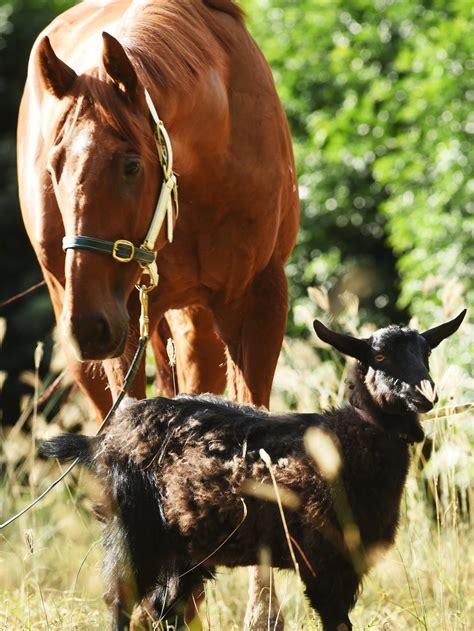 goat nav horse companion