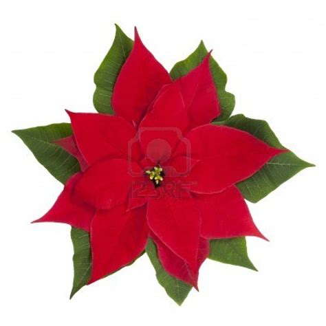 poinsettia plant images behind the scenes c christmas scene 13ers