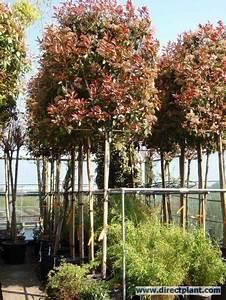 Red Robin Hochstamm : as 25 melhores ideias de red robin hedge no pinterest ~ Michelbontemps.com Haus und Dekorationen