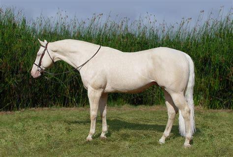 quarter buckskin horses cremello sporthorse moon stallion palomino stud sport warmblood stallions moonrock sporthorses wb warmbloods progeny raleighs sales fan