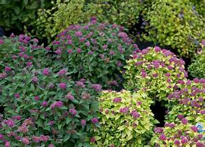 Double Play® Spirea traditional-landscape