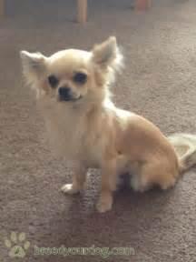 Long Hair Chihuahua Dog Breed