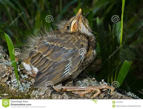 Baby Of Thrush 4 Stock Photos Image 12413073
