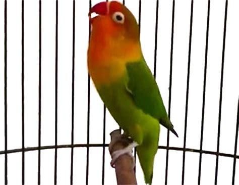 merawat lovebird  ngekek panjang  gacor