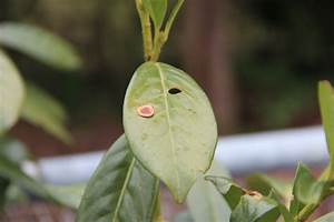 Stockrosen Blätter Haben Löcher : braune bl tter und l cher im kirschlorbeer ~ Lizthompson.info Haus und Dekorationen
