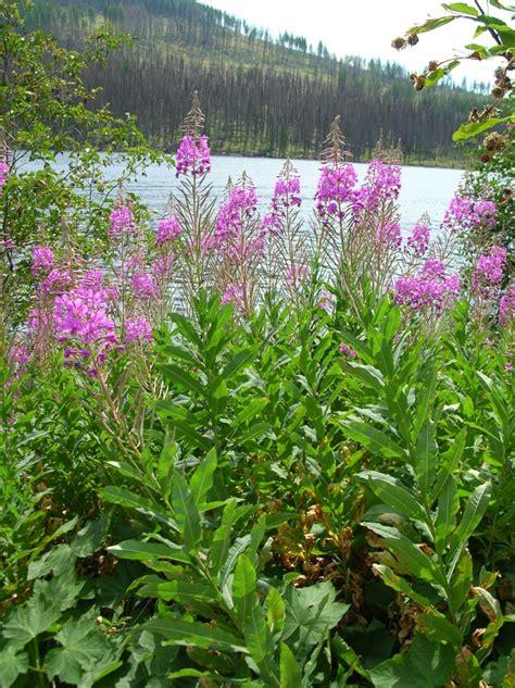 fireweed invasive species council  british columbia