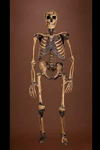 Composite Neanderthal Skeleton; Neanderthal DNA ...