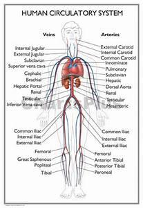 Organs That Make Up The Circulatory System - Human Anatomy ...