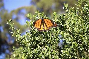 See Thousands Of Monarch Butterflies At This Northern