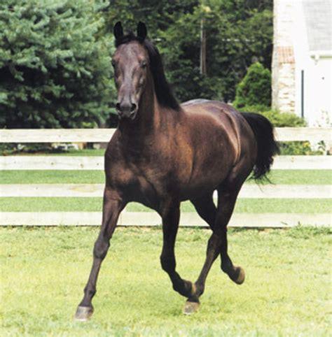morgan horse expert advice  horse care  horse
